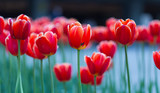 Fototapeta Tulipany - Group of red tulips in the park. Spring landscape