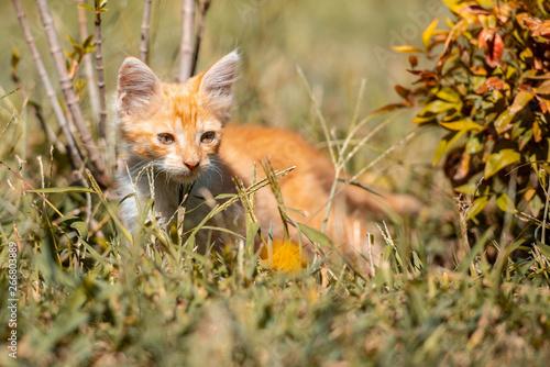 Fotografie, Tablou  Gatito pequeño juega en el prado