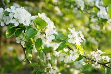 Apple Tree Blossom Close Up, Spring