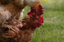 Animal Love Story: Rooster And...