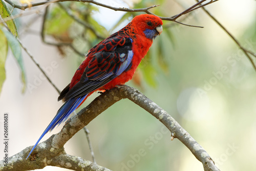 Photo Crimson Rosella - Platycercus elegans a parrot native to eastern and south easte