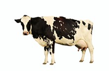Holstein Cow Standing Looking At Camera Isolated On White