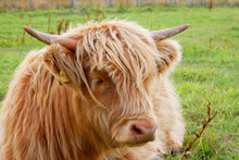 Young Highland Breed Cow In Ca...
