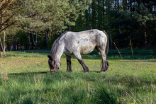 Beautiful Pony On The Grass Field Eating The Grass, Grey Horse