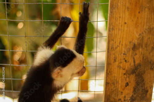 Photo  Monkey scaling fence