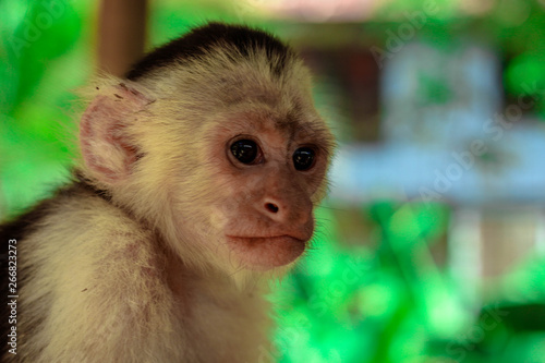 Photo  Portrait of a young capuchin monkey at a sanctuary in Honduras