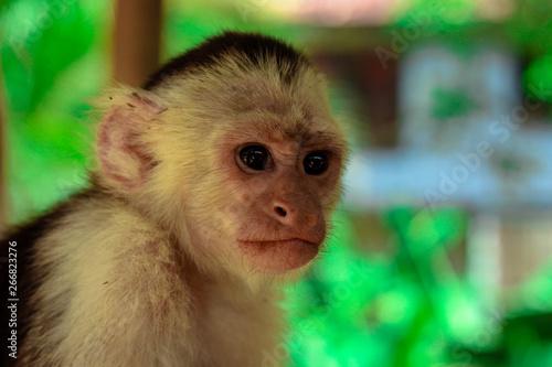 Fotografija Portrait of a young capuchin monkey at a sanctuary in Honduras