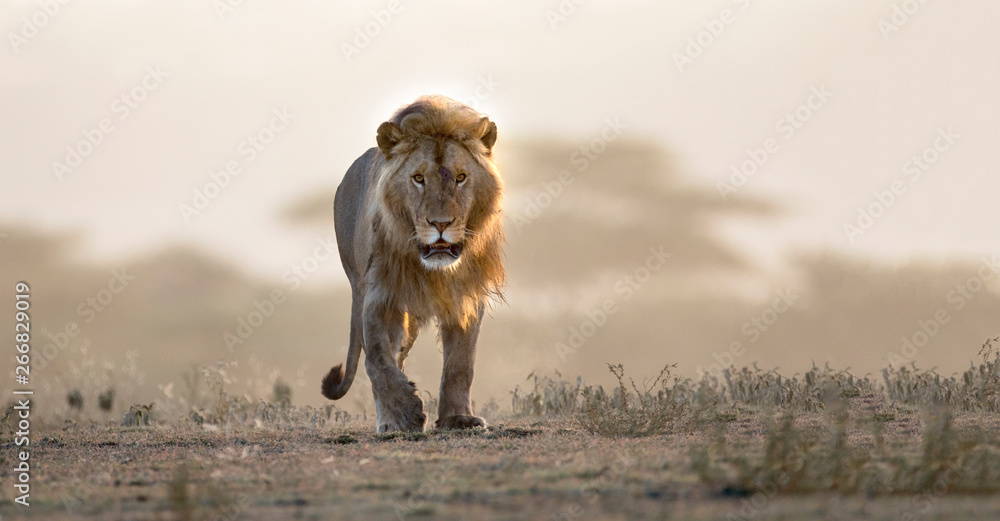 Fototapeta Male lion walking if african landscape