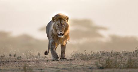 Muški lav hoda ako je afrički krajolik