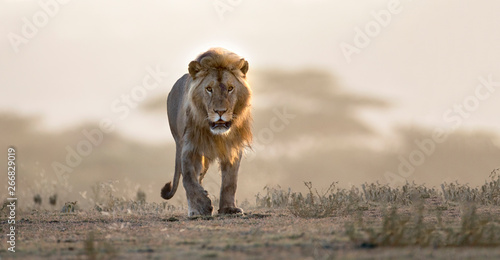 Spoed Fotobehang Leeuw Male lion walking if african landscape