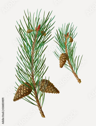 Canvas Print Scots pine conifer cones
