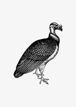 King Vulture Shade Drawing