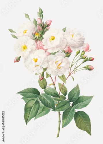 Obraz na płótnie Flowering rosebush