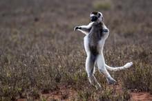 Dancing Verreaux's Sifaka (Propithecus Verreauxi), Berenty Nature Reserve, Androy Area, Madagascar, Africa