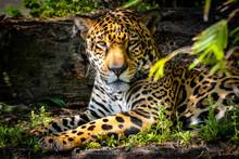 Jaguar Taking A Break