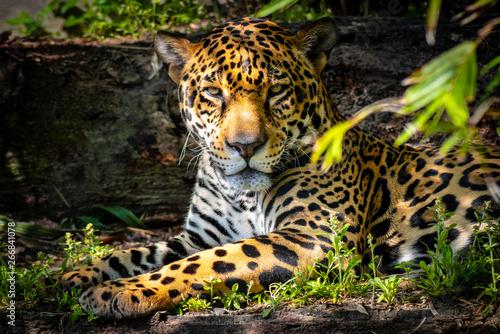 Foto Jaguar taking a break