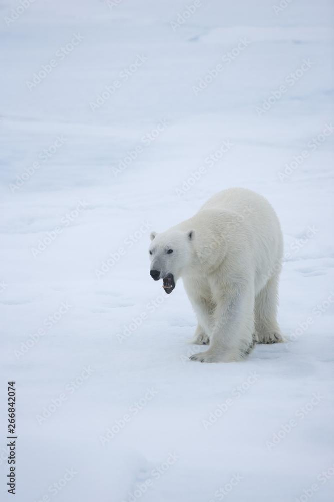 Polar bear walking across the ice in the Arctic