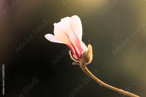 Photo  Magnolia blossom in spring