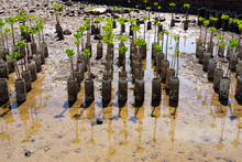 Young Mangrove Trees For Refor...