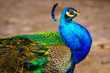 A Proud And Beautiful Peacock ...
