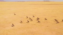 Astonishing Aerial Over Huge Herds Of Oryx Antelope Wildlife Running Fast Across Empty Savannah And Plains Of Africa, Near The Namib Desert, Namibia.
