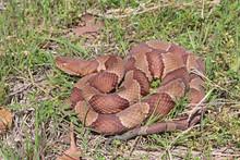 Copperhead Snake (Agkistrodon ...