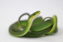 Rough Green Snake (Opheodrys Aestivus)