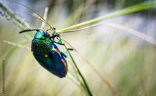 Fototapeta Jewel beetle in field macro shot