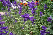 Salvia Viridis (Salvia Horminum) In The Summer Garden