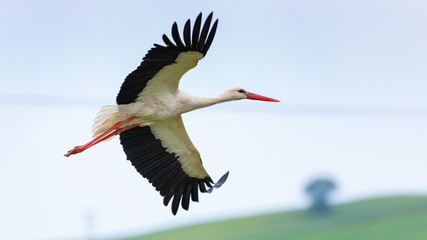 Close-up of a white stork flying over the meadows in Rodopi, Greece