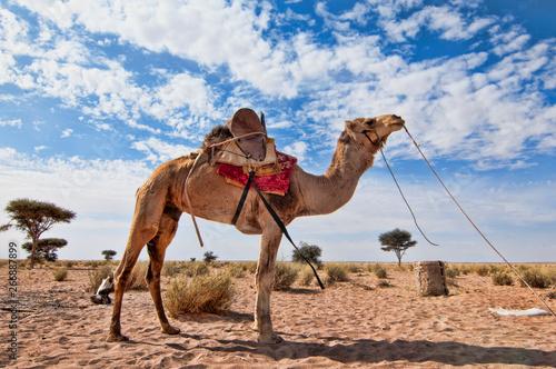 Obraz na płótnie camel