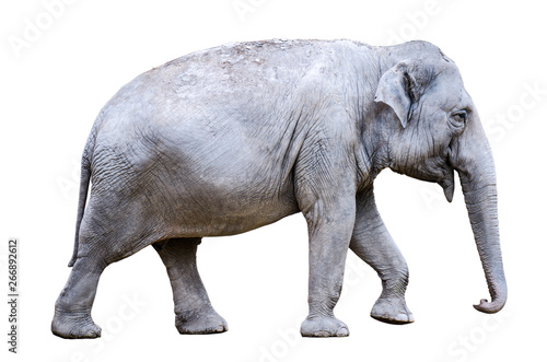 one asian elephant (Elephas maximus) on white background Canvas Print