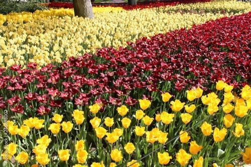 Papiers peints Jaune Parterre de fleurs de toutes les couleurs au printemps dans le parc de Keukenhof en Hollande.