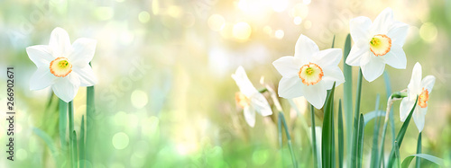 In de dag Narcis beautiful gentle green spring panorama background with daffodils, bokeh effects. Daffodil floral spring background. Easter Spring Flowers, Mother's Day gift. elegant Springtime green scene. banner.