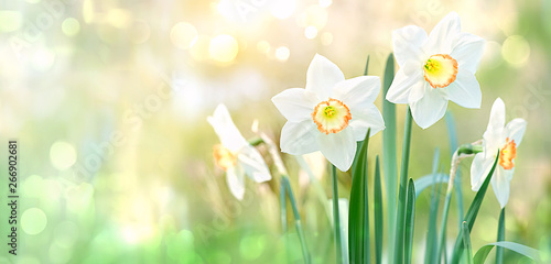 La pose en embrasure Narcisse beautiful gentle green spring panorama background with daffodils, bokeh effect. Daffodil floral spring background. Easter Spring Flowers, Mother's Day gift. elegant Springtime green scene. copy space