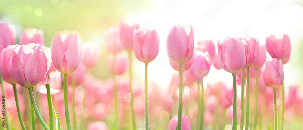 Fototapeta beautiful pink Tulip on blurred spring sunny background. bright pink tulip flower background for spring or love concept. beautiful natural spring scene, texture for design, copy space. banner