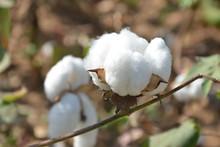 Coton Biologique  Prduit Au Burkina Faso