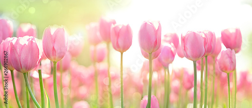 Fotografie, Obraz beautiful pink Tulip on blurred spring sunny background