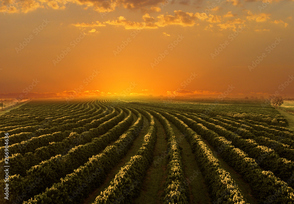 Fototapety, obrazy: Coffee plantation in sunset day