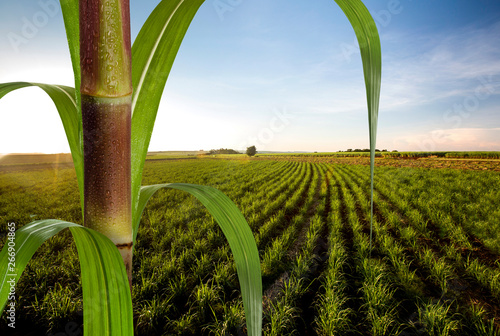 Close up sugarcane with plantation in background. Fototapet