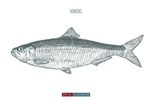 Hand Drawn Herring Fish Isolated. Engraved Style Vector Illustration. Template For Your Design Works.