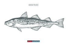 Hand Drawn Alaska Pollock Fish Isolated. Engraved Style Vector Illustration. Template For Your Design Works.