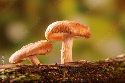 Cuadros en Lienzo Shiitake mushroom growing on tree