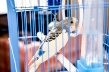 Female Wavy Parrot In A Cage