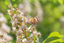 Brown Butterfly Sitting On Chestnut Tree Blossoming