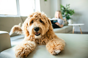 Fototapetawoman with his Golden Labradoodle dog reading at home