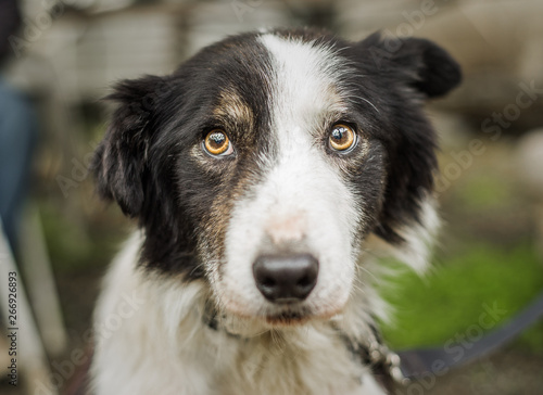 Photo An old, senior dog at Border Collie rescue who was adopted after being photograp
