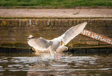Herring Gull Flies Away From An Amsterdam Canal With A Piece Of Bread
