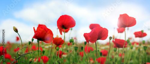 Spoed Foto op Canvas Poppy Wild poppy flowers on blue sky background.