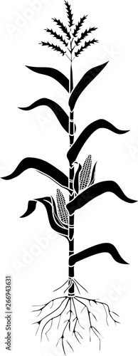 Fotografia  Black silhouette of corn (maize) plant with leaves, root system, ripe fruits iso